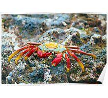 Sally Lightfoot Crab, Galapagos Poster