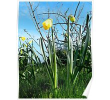 Daffodils, The first sign of Spring Poster
