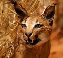 Caracal by pcfyi