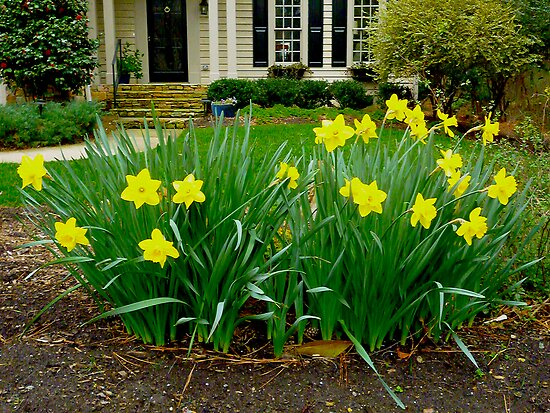 Yellow Daffodils by Jonathan Green by Jonathan  Green