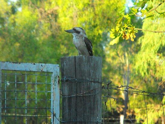 Bluff's  Best Kookaburra Sanctuary    by 4spotmore