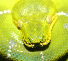 Emerald Tree Boa #2 by Carole-Anne