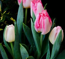 Spring Tulips by Halobrianna