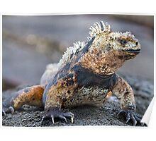 Marine Iguana, Galapagos Poster