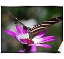 Zebra Longwings Butterfly  Poster