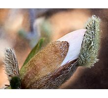 Bud popping its cap Photographic Print