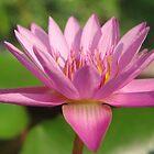 Pink Lotus Blossom by Rainy