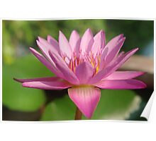 Pink Lotus Blossom Poster
