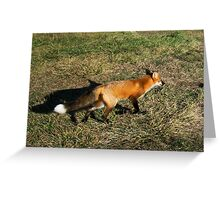 Fox at 4th of July Beach Greeting Card