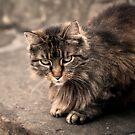 Little Lioness by Lynn Starner