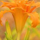 Orange Daylily by Geoffrey Higges