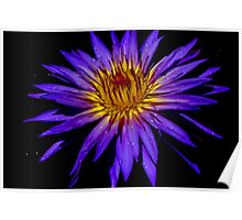 Water Lily - Nymphaea 'Blue Aster' Poster