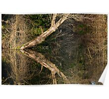 Leaning tree reflection Poster
