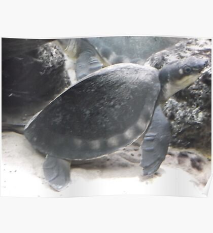 London Zoo/Reptile House/Turtle/(2 of 2) -(190212)- digital photo Poster