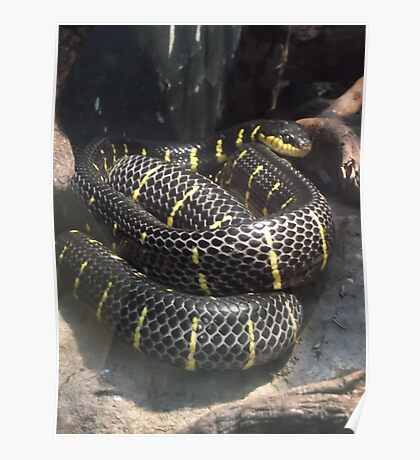 London Zoo/Reptile House/Snake(1 of 2) -(190212)- digital photo  Poster