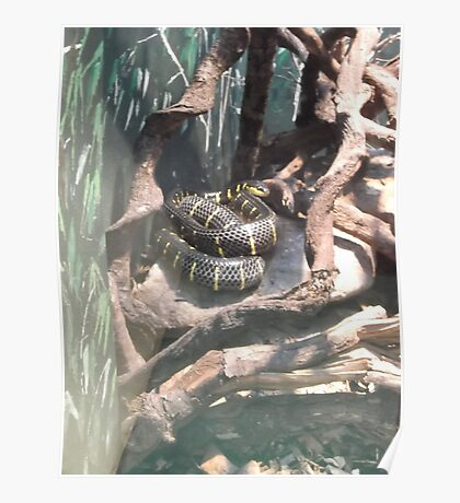 London Zoo/Reptile House/Snake(2 of 2) -(190212)- digital photo  Poster