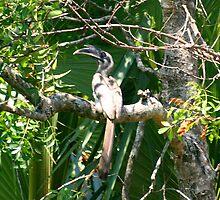 The Indian Grey Hornbill (Ocyceros birostris) by dotcompals