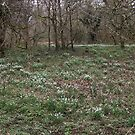 Snowdrop woods Pano by Martin Vincent