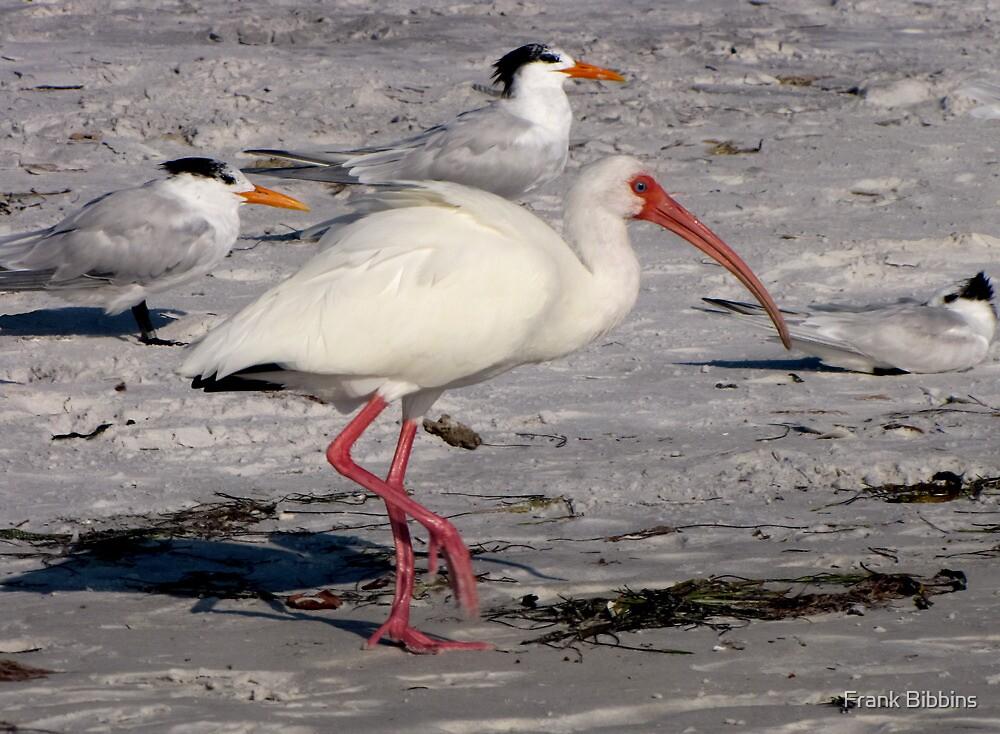 White Ibis Foraging by Frank Bibbins
