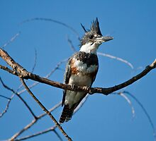 Belted Kingfisher by Richard Labelle