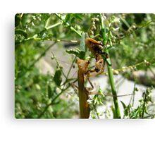 Praying Mantis Bee Lunch Canvas Print