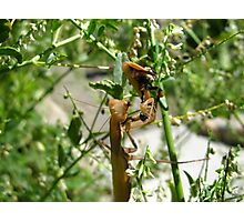 Praying Mantis Bee Lunch Photographic Print