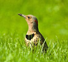Northern Flicker by Richard Labelle