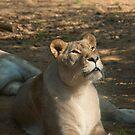 Female Lion by Vac1