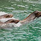 Harbor seals by Vac1