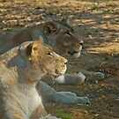 Lions by Vac1