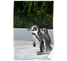 Magellanic Penguin Poster