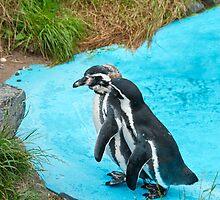 Magellanic Penguins by Vac1