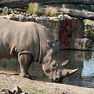 Rhinoceros drinking water by Vac1