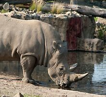 Rhinoceros drinking water by Vac1