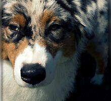 Blue Merle Australian Shepherd by jodi payne