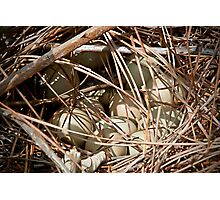 Pheasant Eggs Photographic Print