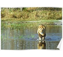 Lion crossing river Poster
