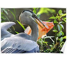 Great Blue Heron & The Carp Poster