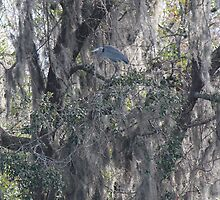 Heron Hiding High by Bob Hardy