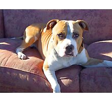Pitbull on a couch Photographic Print