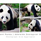 The Giant Panda : Adelaide Zoological Gardens by Nick Egglington