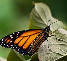 Brand-new monarch by Celeste Mookherjee