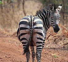 Plains Zebra, Akagera National Park, Rwanda by Carole-Anne