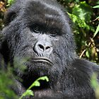 Sombre Look, Silverback Gorilla, Hirwa Group, Rwanda by Carole-Anne