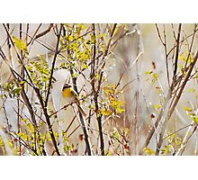 Rufous-capped Warbler Photographic Print