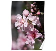 Busy Bee in the Peach Tree! Poster
