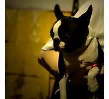 The Boston Bull Terrier  Photographic Print