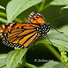 monarch butterfly 3 by bluetaipan