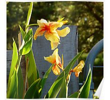 Yellow Canna Lilies Poster