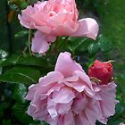 Strawberry Hill Roses 2 by magicaltrails